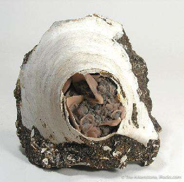 Rhodochrosite Pseudo. After Fossil Clam Shell